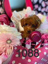 Red MaltiPoo Puppy 1088