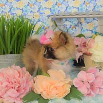 Pomeranian Puppy for sale 732.jpg