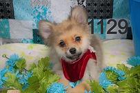Pomeranian%20Puppy%201129%20(5)_edited.j