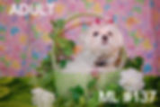 Adult Maltese Baby Face_edited_edited.jp