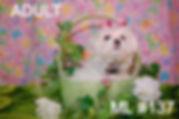 Adult Maltese Baby Face_edited_edited.jp