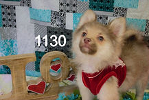 Pomeranian%20Puppy%201130%20(16)_edited.