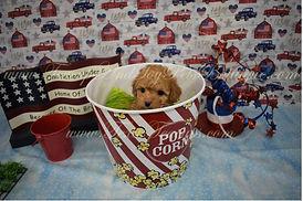 Red MaltiPoo Puppy 1171.JPG