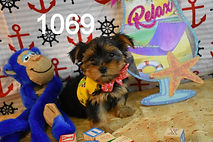 1069%20Male%20Yorkie%20(3)_edited.jpg