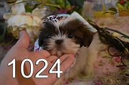Chocolate%2520Shihtzu%2520Puppy%25201024