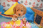 Apricot MaltiPoo Adoption Puppy