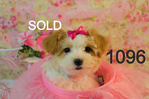 Maltipoo%2520Puppy%25201096%2520(1)_edit