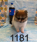 Parti Pomeranian 1181