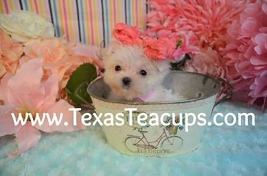 Micro%20Tiny%20Teacup%20Maltese%20746%20