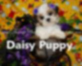 Daisy TexasTeacups.jpg