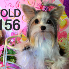 SOLD Parti Colored Yorkie 156