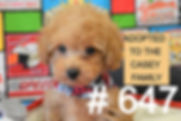 Red%20Poodle%20Puppy%20647_edited_edited