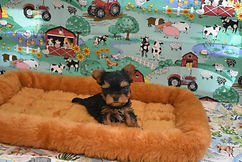 Tiny Yorkie Puppy.jpg