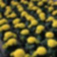 Marigold-Antigua Yellow