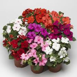 Impatiens-Imp. Accent Mix