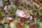 Begonia-Cocktail Gin Pink