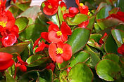 Begonia-Olympia Red