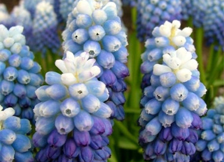 Muscari-Ocean Magic (25 bulbs)