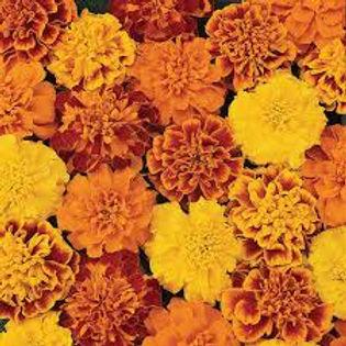 Marigold-Bonanza Mix