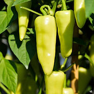 Eisley Wax is a pepper is 3 to 4 inches long and 1/2 inch wide with good flavor. They are mild when green, mild/warm when yellow, hot when red. These annual peppers like hot weather so they do best when planted in the early summer