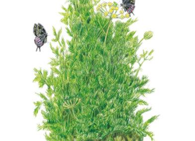 Dill Tetra Seeds
