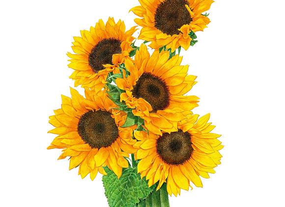 Sunflower Zohar hybrid Org Seeds