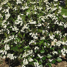 A tough and adaptable North American native with a profusion of small white flowers in spring, followed by shiny purple-black, showy berries that will persist throughout winter, and brilliant red fall foliage. This low-growing, mounding, deciduous shrub is excellent for use as a groundcover or edging, and tolerates a range of soil and climate conditions.