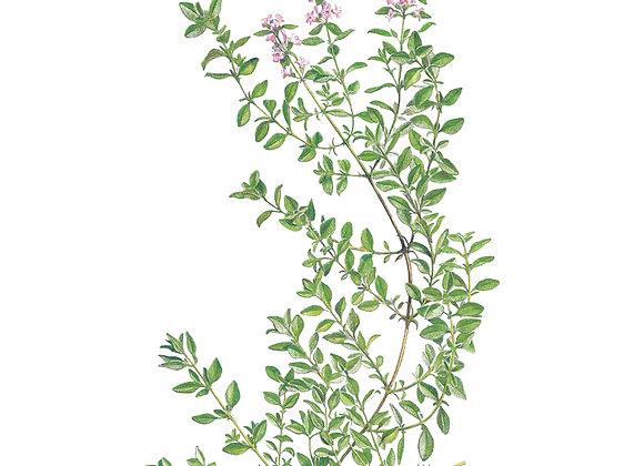 Thyme English Org Seeds