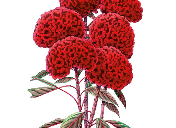 Celosia Chief Red Flame Org Seeds