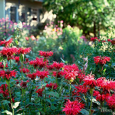 Whether you call it bee balm, monarda, bergamot, or Oswego tea, this plant is great for bringing pollinators to the garden. Blossoms reminiscent of fireworks in a variety of colors mean more than just pollinators enjoy these blooms! Vigorous growth and a long bloom time also make this plant a standout in any garden setting. The many additional uses of different parts of the plant make them handy to have around.