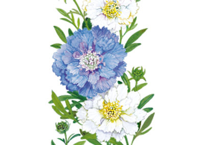 Scabiosa Isaac House Blend Seeds