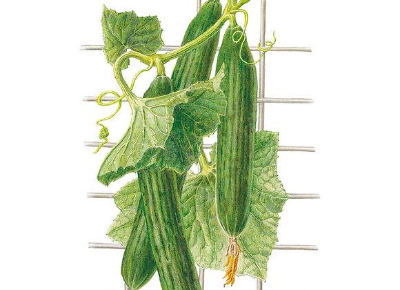 Cucumber English Telegraph Seeds