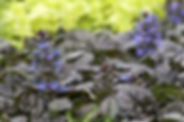 With a wide variety of foliage colors usually in the rich deep burgundy realm, and sometimes cream and pink edges, ajuga makes a beautiful groundcover. The foliage is generally crinkled and very glossy as well. However, if you think this is just a foliage plant, you would get quite the surprise as spring eases into summer. Then, ajuga is covered in little spikes of bright blue, purple, pink or white blossoms.