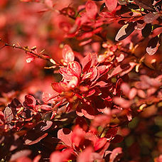 Berberis thunbergii  'Atropurpurea Nana' is one of the most commonly grown types. It offers purple foliage through the summer that turns bold red in fall. It grows 3 feet tall and wide. Zones 5-8