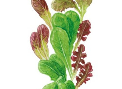 Baby Greens Lettuce MarketDay Org Seeds