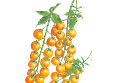 Tomato Cherry Sun Gold hybrid Seeds