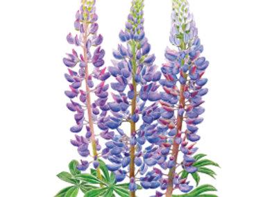 Bluebonnet Sundial Lupine Seeds