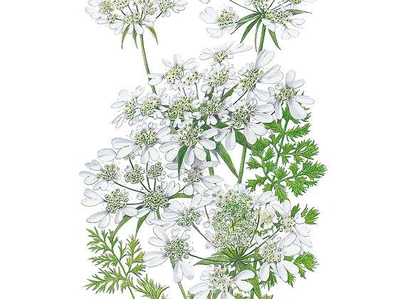 Orlaya White Lace Seeds