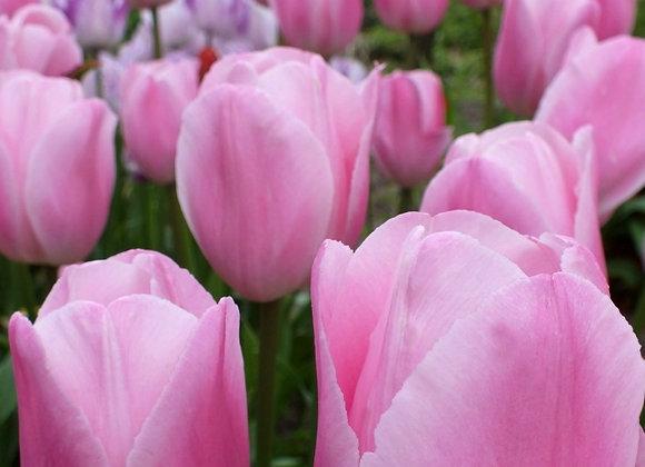 Tulip-Rosalie (25 bulbs)
