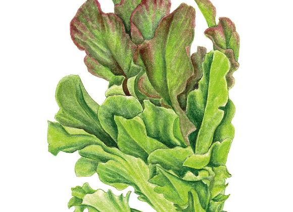 Lettuce Leaf Salad Bowl Blend Org Seeds