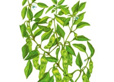 Pepper Chile Shishito Org Seeds