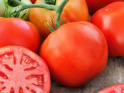For years gardeners wanted a large, beefsteak-type tomato that was delicious, early to bear, and highly disease resistant. Finally in 1994 those wishes came true with Big Beef. The large fruit has old-time tomato flavor and the vines are resistant to many of the problems that can discourage gardeners. The fruit is borne on vigorous, indeterminate vines from summer until frost. Compared to other beefsteak types, Big Beef is early and will set fruit reliably even in cool, wet weather. We harvest dozens of tomatoes from each plant in our Alabama test garden, where the harvest season lasts two full months and the growing conditions are very good. It grows well throughout the country, earning it an All America Selections designation in 1994; it has since grown to be a national favorite. Vines grow long, so give the plant the support of a tall cage or stake