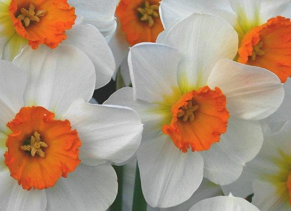 Narcissus-Barrett Browning (25 bulbs)