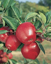 This is America's favorite snacking Apple! Prepare yourself for an extra crunchy, mildly sweet, flavorful apple; home grown Red Delicious are much tastier than those you will find in the supermarket. Vigorous trees produce lots of juicy, sweet fruit that keeps well. Harvest in September and October. Recommended chilling: 900 hours. Deciduous.