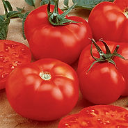 One of the most popular hybrid beefsteak-types, with improved disease resistance. Solid, meaty, bright red tomatoes weigh up to 2 lbs. Better yields, larger fruits and good tolerance to cracking and splitting.  Indeterminate.  80 Days