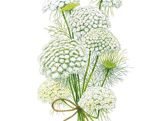Ammi Green Mist Seeds