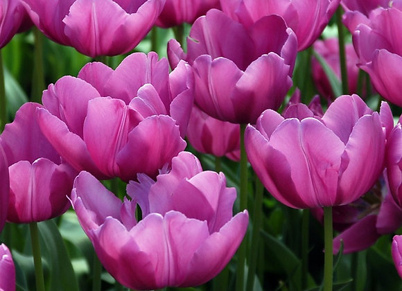 Tulip-Purple Prince (25 bulbs)