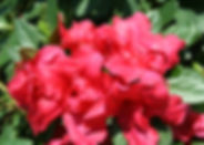 Enjoy up to five months of blooms with this wonderful selection! Large flowers appear in April, then rebloom in early July, continuing through fall until hard frost. Even high summer temperatures don't stop this beauty from producing loads of late summer and fall flowers. The evergreen foliage is disease resistant, and maintains excellent color year-round. Performs well in containers. Great for borders, foundation plantings and woodland gardens.