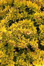 A vibrant golden barberry with a compact form. Attractive foliage has an orange cast most of the season. Provides excellent contrast with green-leaved plants, and brings warm color to low hedges, foundation plantings and formal gardens. Deciduous.