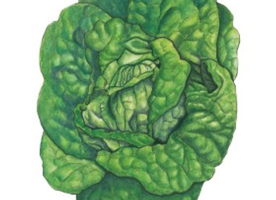 Lettuce Butterhead Buttrcrnch Org Seeds